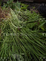 grass_02.JPG