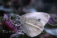pieris-brassicae.jpg