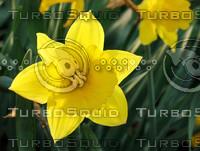 spring daffodil.jpg