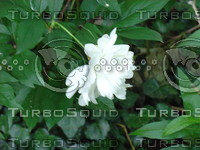 fchamp_flower151.JPG