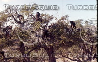 Morocco 148 Goats in tree.jpg