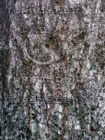 Tree bark 0091.JPG