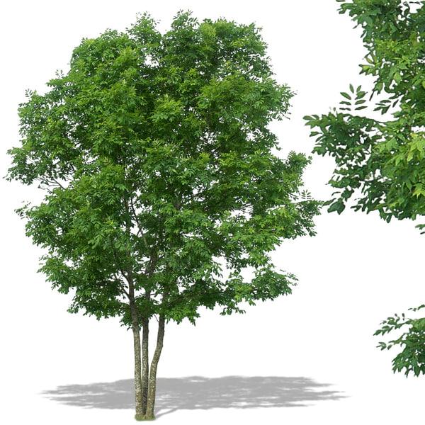 Pin deciduous trees maple tree in garden array of plants for Garden deciduous trees