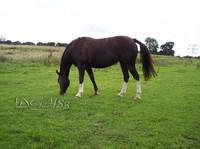 Horse grazing.jpg