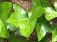 Ivy Vine 1 - 3008x2000
