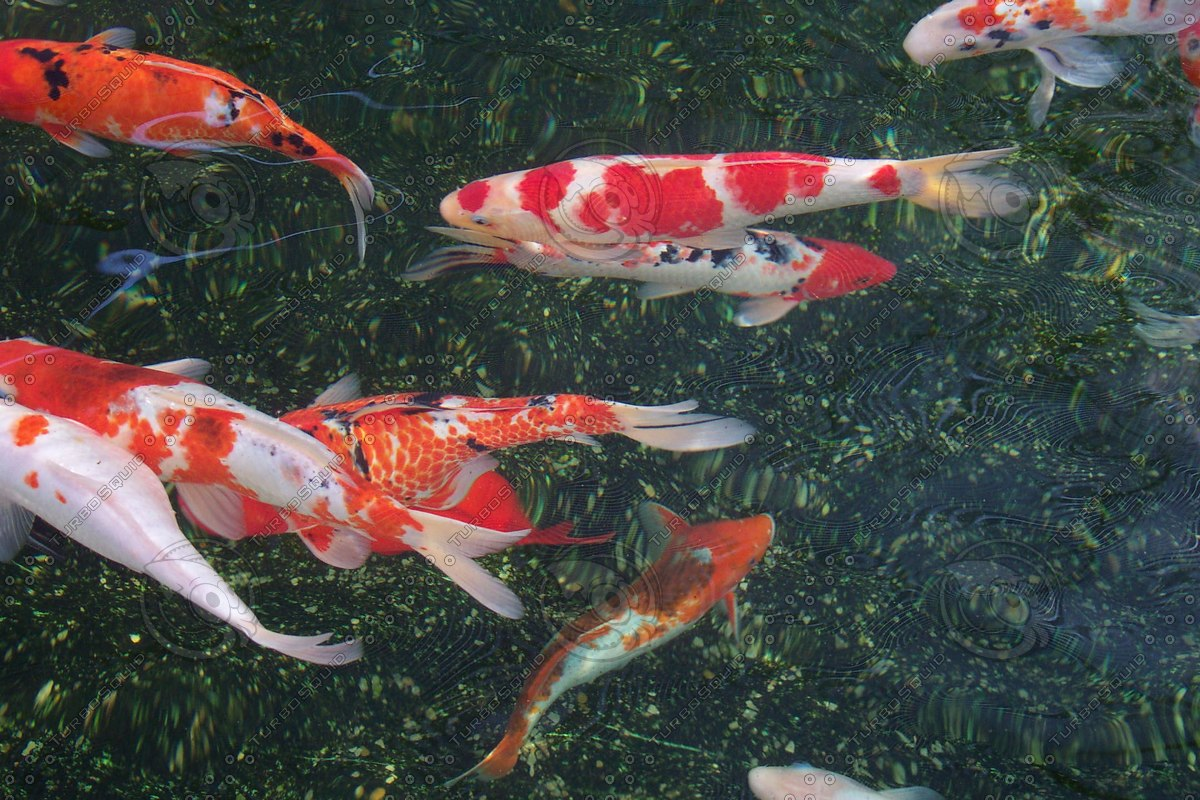 Stock jpg japanese koi fish for Original koi fish