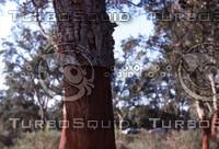 Morocco 020 Cork tree, post harvest.jpg
