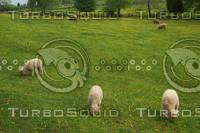 SheepGrazing.jpg