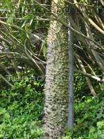 Spiked tree 889.JPG