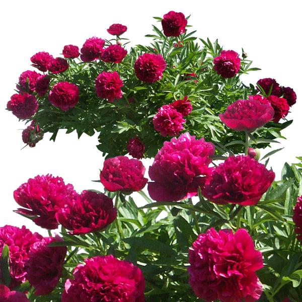 flowers4p.jpg
