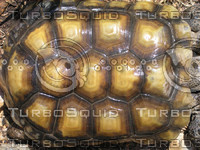 full tortoise shell.jpg