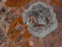 Rock Texture - Lichen 1