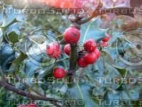 stock_photo_mistletoe_bySentidos.JPG