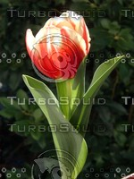 stock_photo_tulip_bySentidos.JPG
