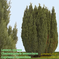 Lawson Cypress - High Resolution