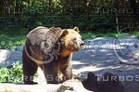Grizzly Bear_02
