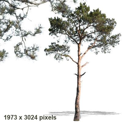 pine6p.jpg