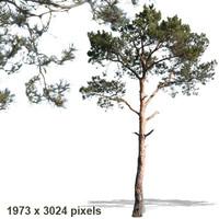 pine6