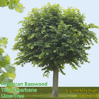 American Basswood 5m - High Resolution