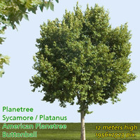 Planetree / Buttonwood 12m ---------------- High Resolution