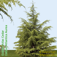 Golden Atlas Cedar Tree Texture ---------- High Resolution