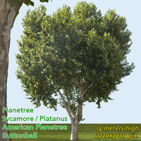 Planetree / Buttonwood 14m ---------------- High Resolution