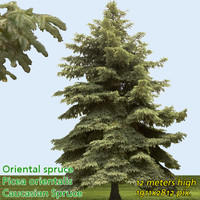 Oriental Spruce Tree Texture --------------- High Resolution