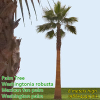 Mexican Fan Palm 8m - High Resolution