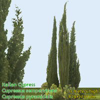 Italian Cypress 12m - High Resolution