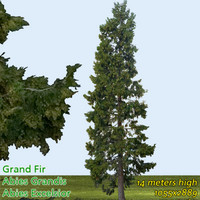 Grand fir Tree Texture - High Resolution