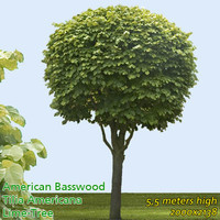 Large leaved lime - High Resolution