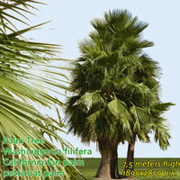 California Fan Palm 7m - High Resolution
