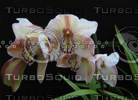 Orchid, White-purple 04-30-06 2.png