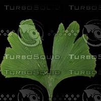 Wet Ginkgo Leaf (2048 x 2048)