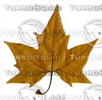 Near Perfect Maple Leaf