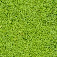 chinese_grass2.jpg