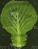 Cabbage-leaf-TOP.jpg