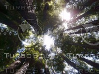 Ancient Californian Redwoods