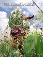 Mexican_Cactus