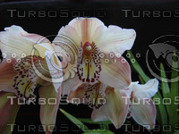Orchid, White-purple 04-30-06 3.png