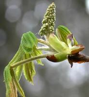 chestnut1b.jpg