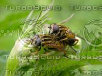 matingfly2682.jpg