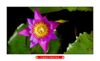 THAI WATER LILLY IMAGE B
