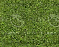 Thuja hedge texture - tileable