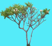 frangipani1.jpg