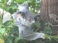Koala_Bear_9.jpg