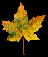 Maple Leaf 2489 x 2976