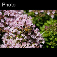 Insect: Bee