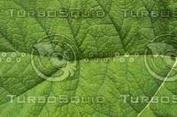 leaf 01.JPG