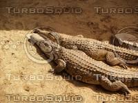 Crocodile_9.jpg